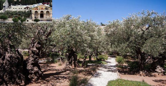 Getsemane vid Olivberget i Jerusalem